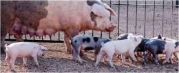 cerdos en la granja Salgot